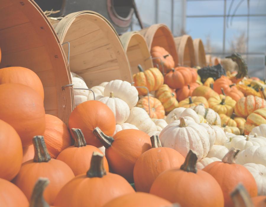 Pumpkin Harvest - A Time for Celebration